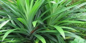 The use of pineapple leaves and things to take great care when using