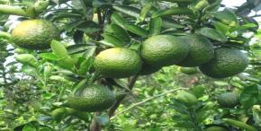 Green Oranges (King mandarin)