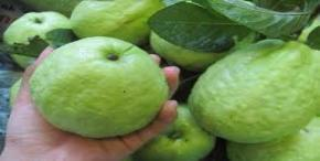Use of guava when you eat the right way