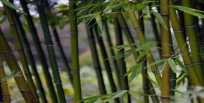 Bamboos are not trees or shrubs